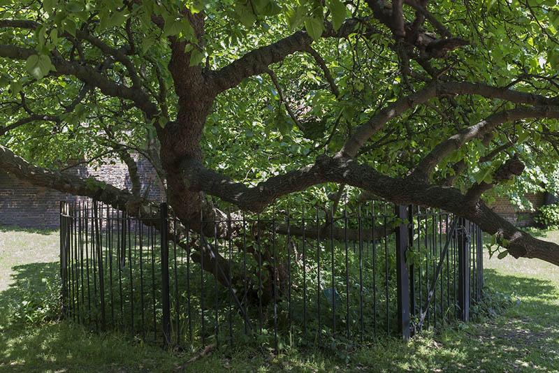 The Charlton House mulberry