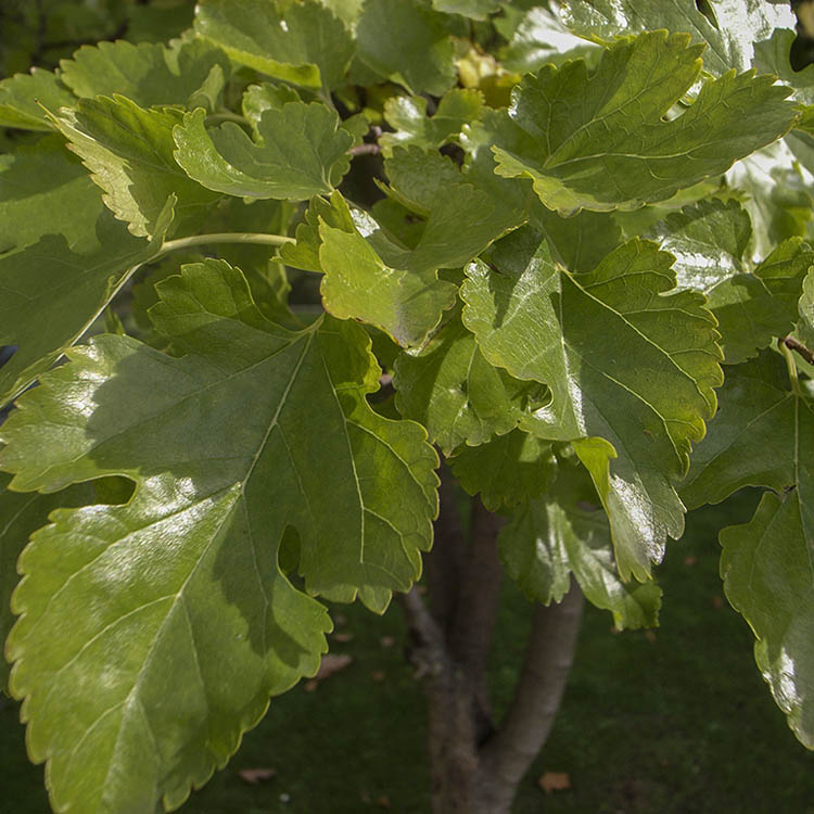 White mulberry leaves