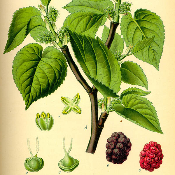 Black mulberry features (Source: Wikimedia Commons)