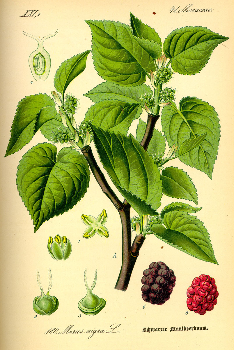 identify a mulberry morus londinium