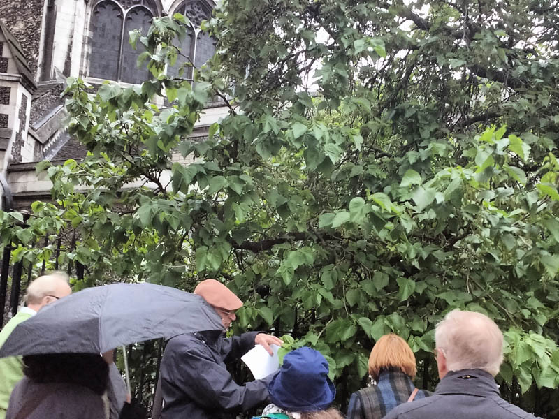 Looking at a mulberry on the site of a former Mulberry Garden at St Bartholomew-the-Great