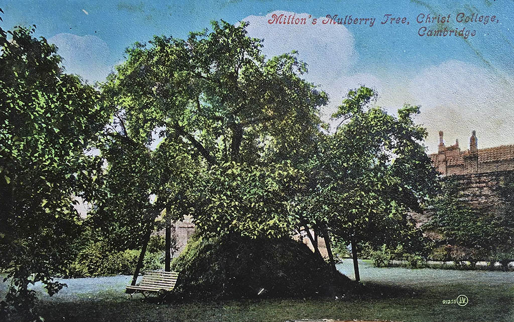 "Milton's black mulberry in the Fellow's Garden at Christ's College, Cambridge, from which the Charterhouse ""Queen's mulberry"" is said to have been grown. Milton became a student at Christ's in 1625 and gained his MA in 1632. It's unlikely that he actually planted the tree, though. And even if it was planted as a sapling as part of James I's silk initiative around 1608-9, it would still have been a relatively young tree when Milton is said to have composed poetry under it."