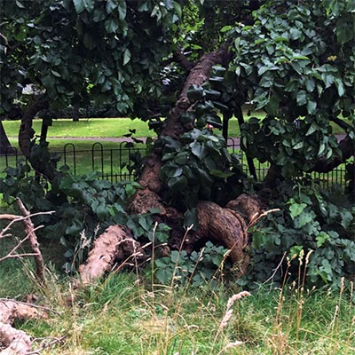 The branch on the left of the Sayes Court mulberry has broken off and is now dead.