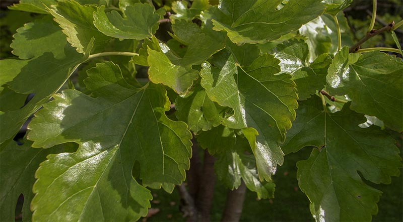 The leaves of the white mulberry are typically indented, with lobes and are much glossier than those of the black mulberry. But there is great variation in leaf form, sometimes on the same tree.