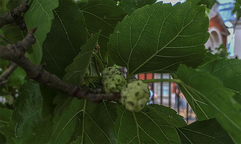 The leaf shapes of the white mulberry can be very different from one variety to another