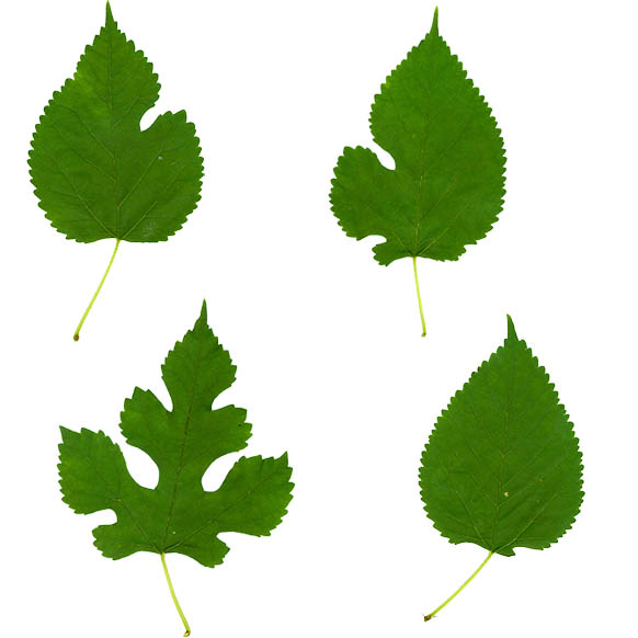 White mulberry leave variations (Source: Wikimedia Commons)