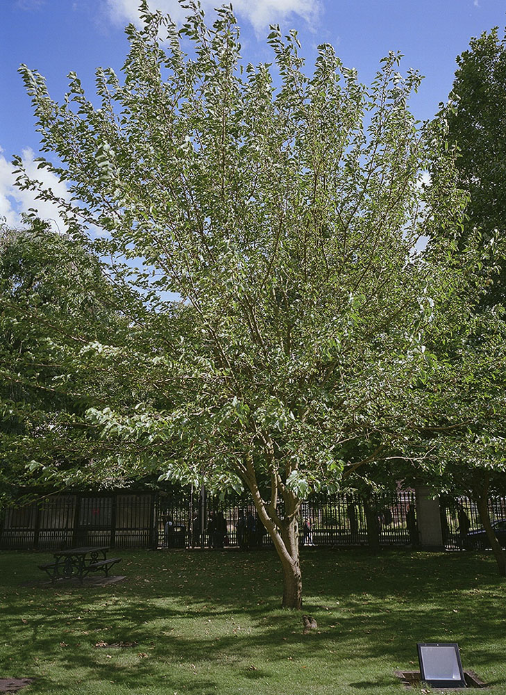 Mature mulberry tree