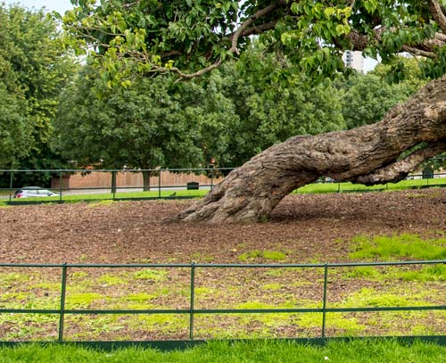 A railing and mulch around a mulberry tree to prevent compaction.