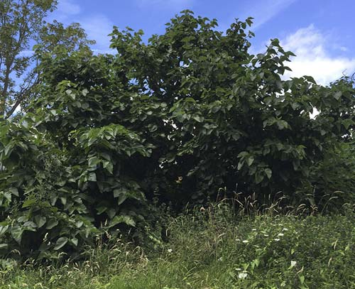 Excessive vegetation growing around a mulberry leading to competition for nutrients and water.
