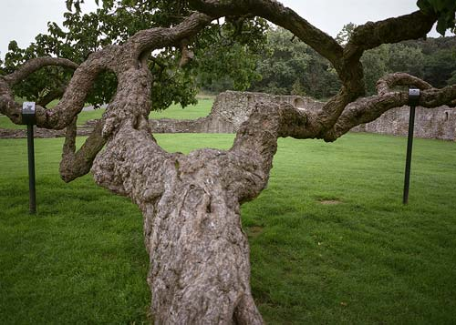 A propped mulberry at Lesnes Abbey