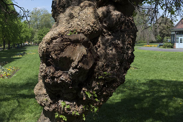 Photo of the mulberry tree's trunk