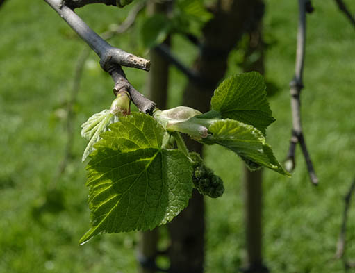Photo of the mulberry bud