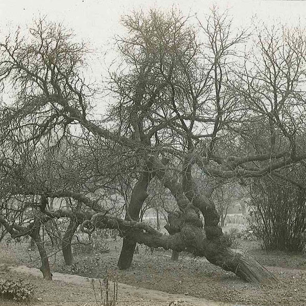The original mulberry from which all King James I mulberries derive (photo courtesy of Chelsea Physic Garden