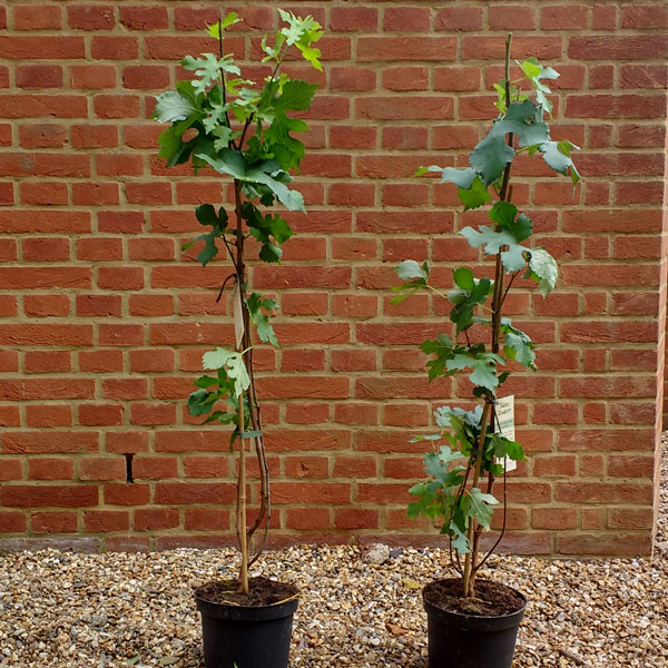 Two of the 100 saplings waiting to be planted