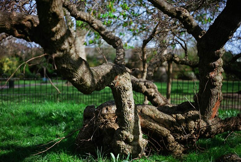 The Sayes Court mulberry.