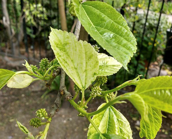 White mulberry (Morus alba) in the garden beside Christ Church, Spitalfields