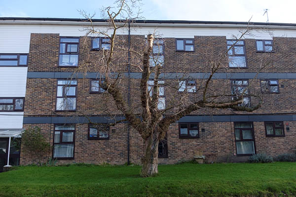 Mature black mulberry in Mulberry Close. According to a local resident, a similar tree stood in roughly the same place on the opposite side of the flats, until it was felled about 27 years ago.
